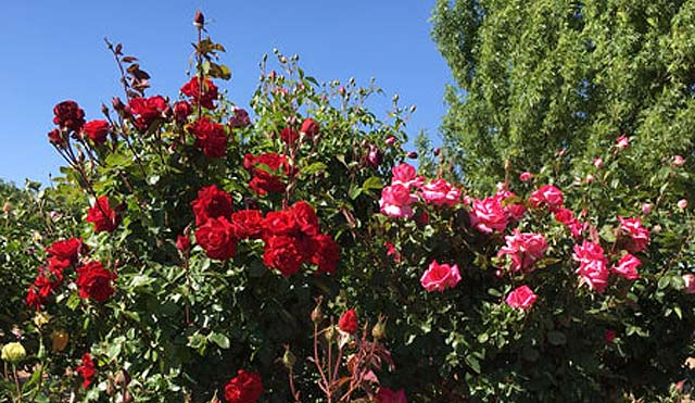 Roses blooming at the LDV Vineyard
