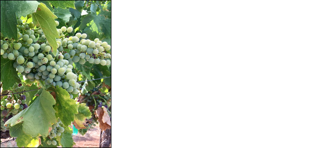 Viognier grapes in full maturity at LDV Vineyard