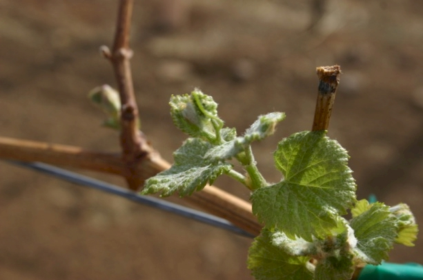 Spring Arrival Budding Grapes at LDV Winery