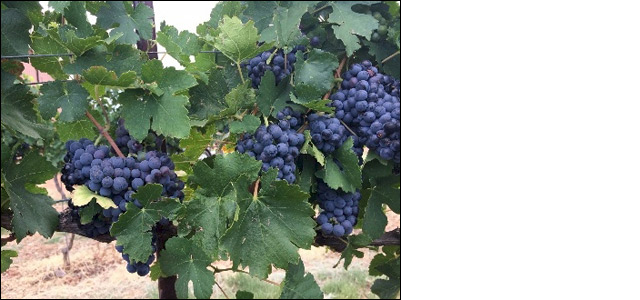 Ripe grapes on the vine at LDV Vineyard